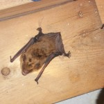 Bat in attic CT 860-510-6313