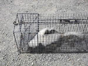 Rabid skunk removal 860-510-6313