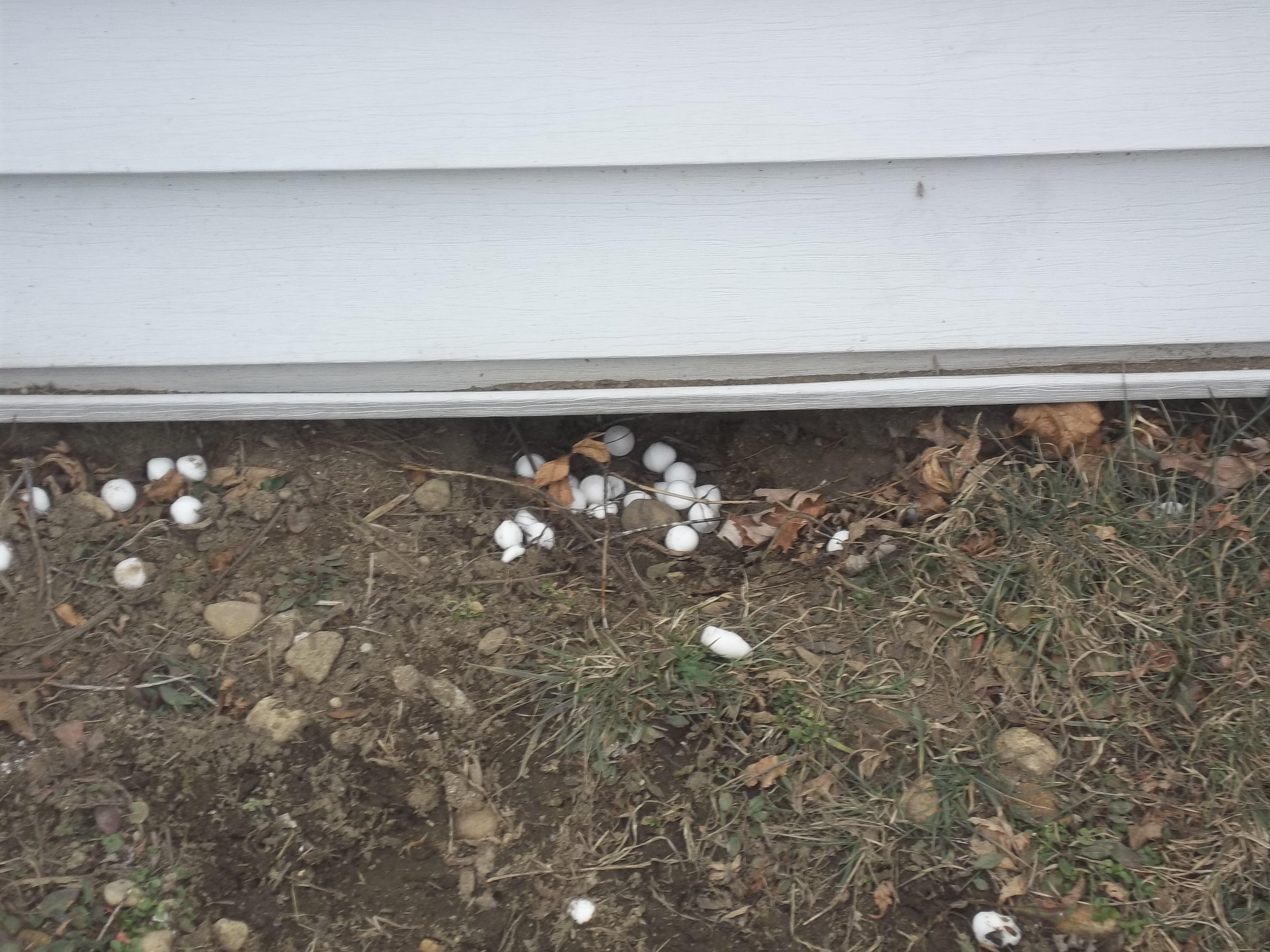 skunk hole into crawlspace mothballs do not deter skunks same skunk