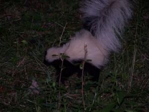 Skunk removed from Westbrook, Connecticut