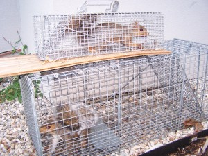 Squirrels in traps
