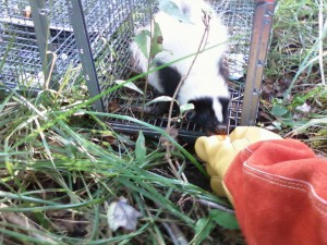 skunk removed from Waterford CT