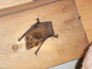 Bats in attic CT