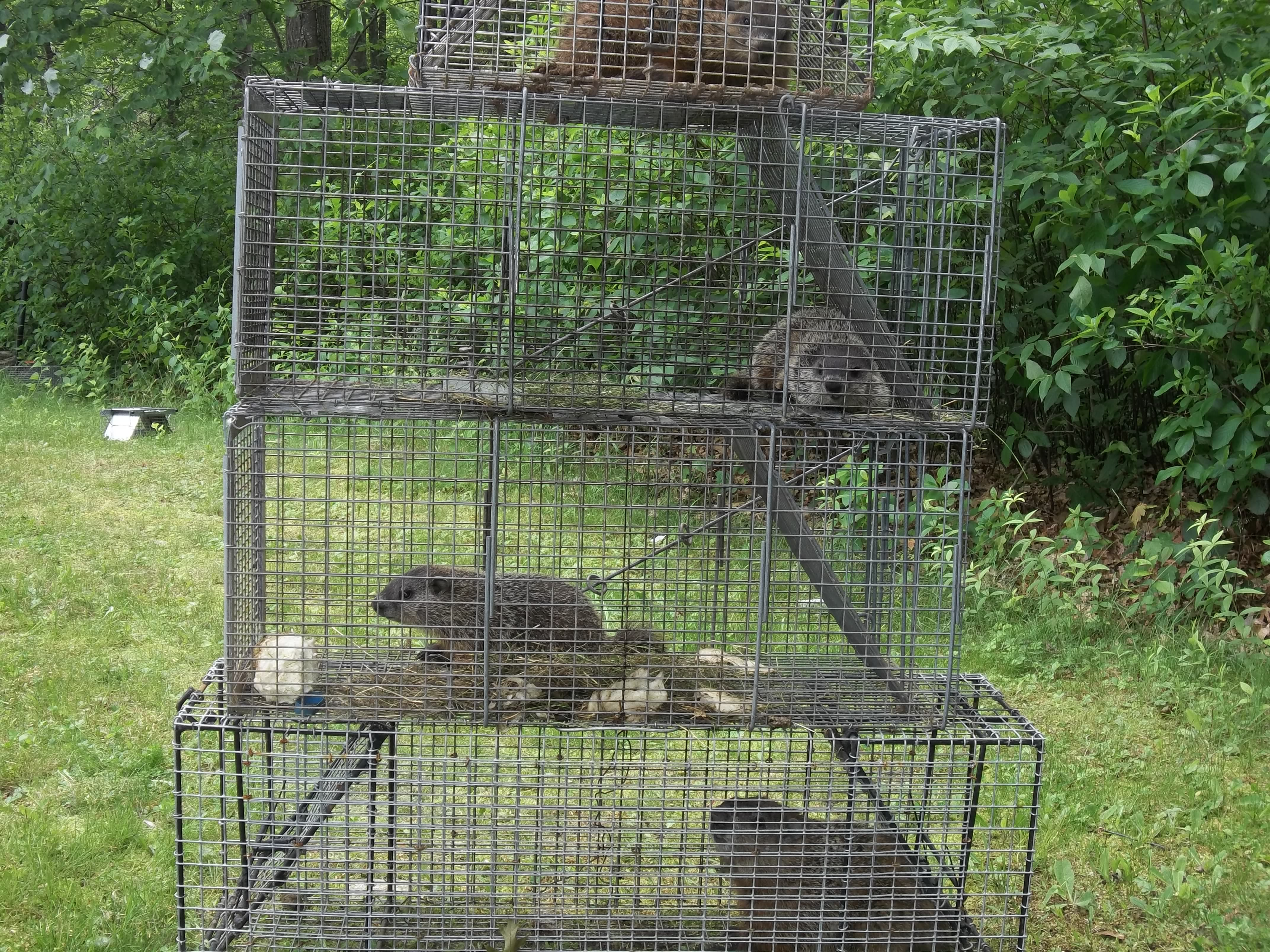 woodchuck removal groundhog control connecticut ctrf