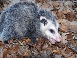 Opossum remove from Waterford, Connecticut
