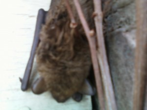Guilford  CT bat removal