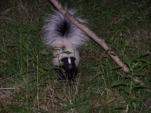 skunk pest removal ct Exterminator