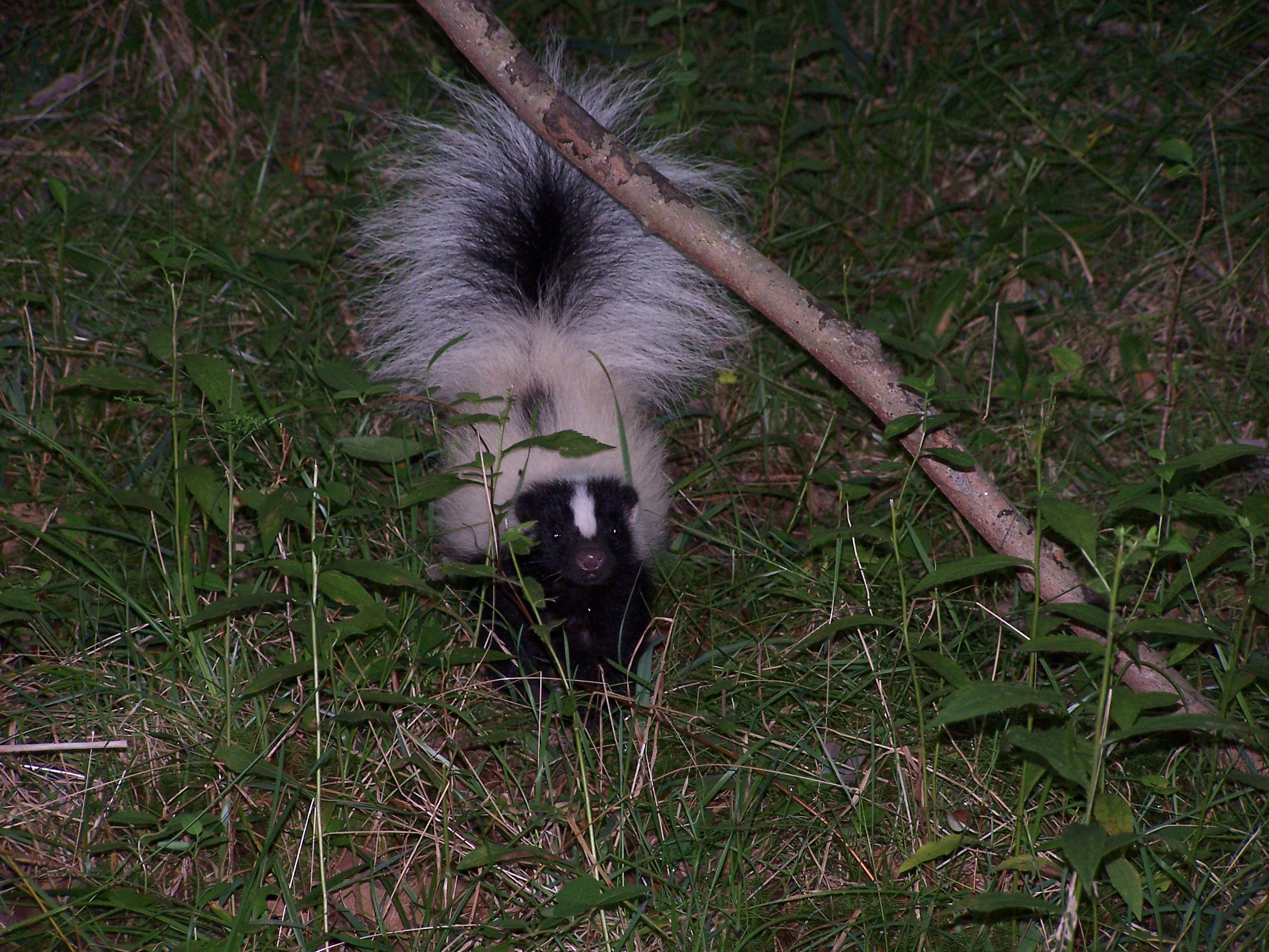 How To Get Rid Of Skunks Rf Wildlife Control 860 510 6313