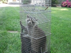 Raccoon pest control CT