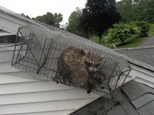 Mother raccoon trapped