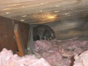 baby raccoon found in attic ct
