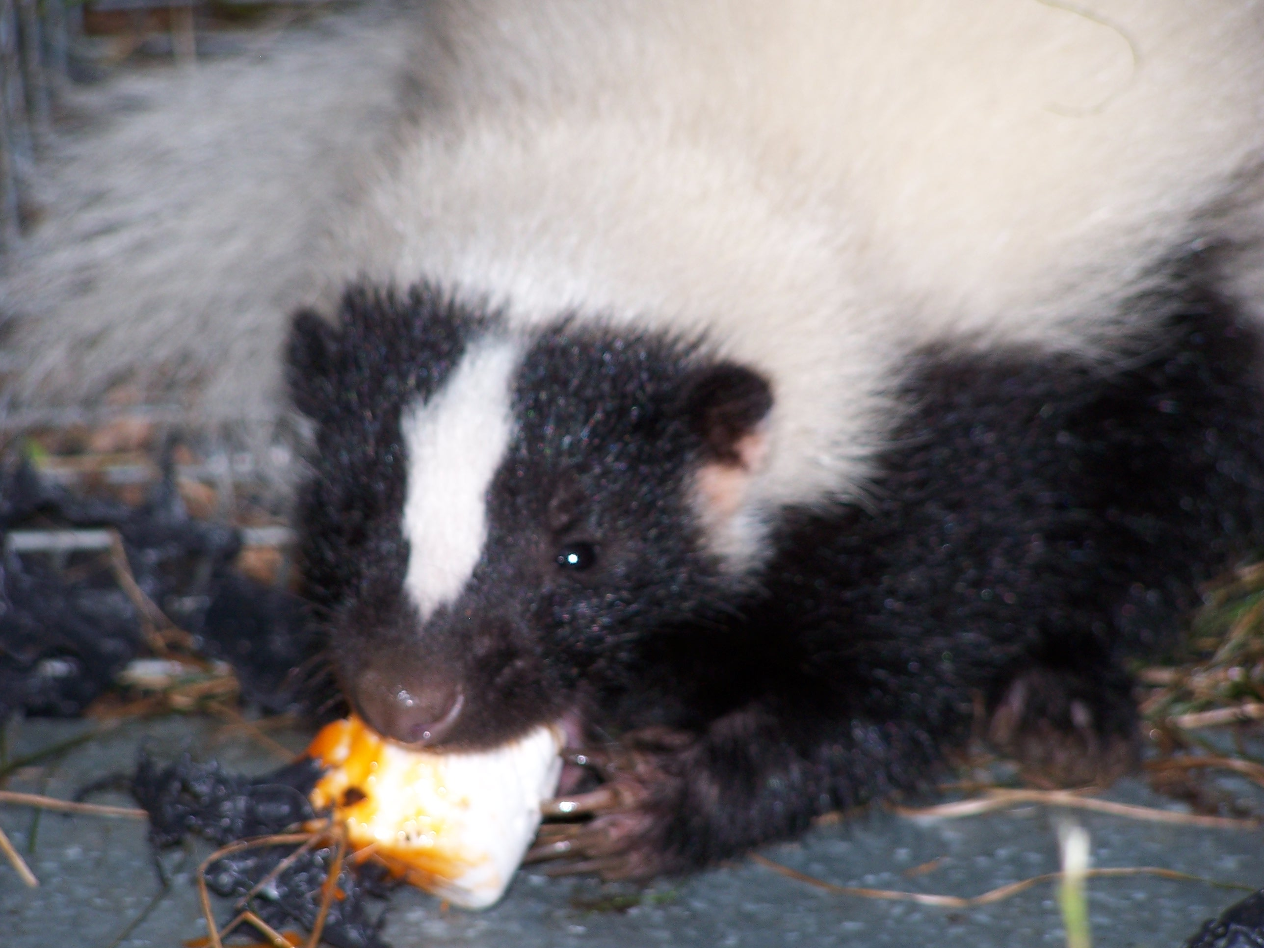 Skunk removal Essex