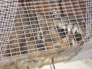 Raccoon Removal CT