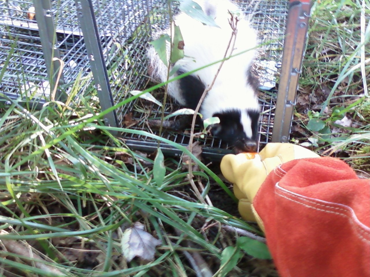 Essex Ct Skunk Trapping Rf Wildlife Removal