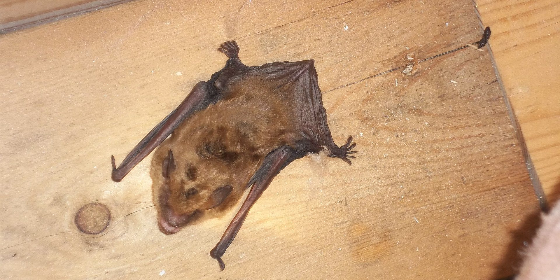 Frozen Bat Ct Bat Removal Problems Guilford Ct